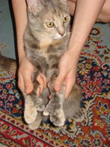 Sheba, the polydactyl cat