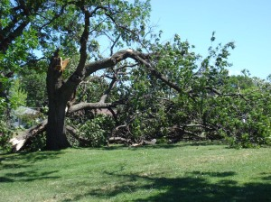 Another Downed Tree, July 11, 2008, Storm, Central Minnesota