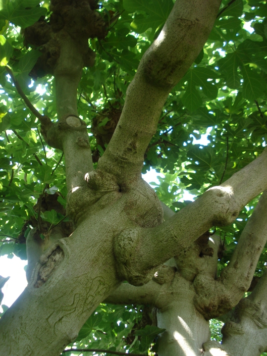 Common Fig, Como Park Conservatory - I find the bulbous nature of this trunk attractive.