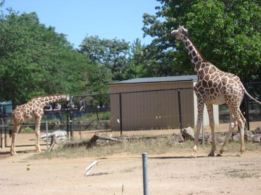 Little giraffe, big giraffe, and the back side of a zebra