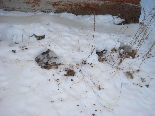 Squirrel midden piles in the snow next to the house, January 2010, Minnesota.