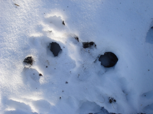Sometimes the squirrels come up empty-handed. Look, no middens. January 2010, Minnesota.