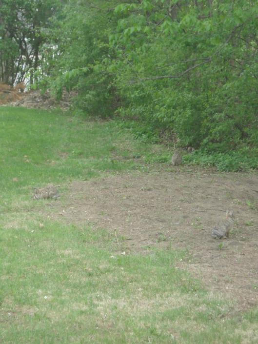 Three rabbits in the backyard.