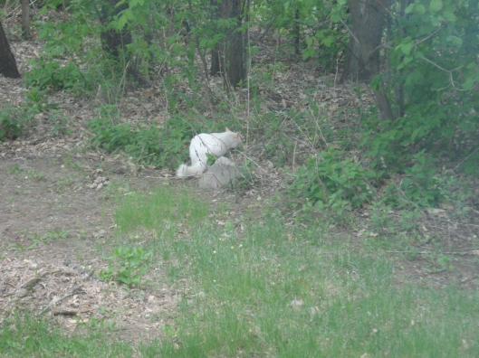 The scruffy white neighborhood cat.