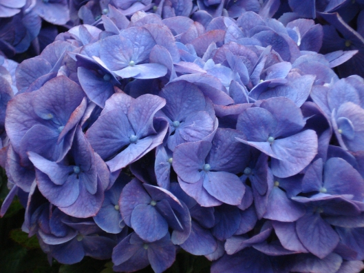 Como Park Conservatory, May 7, 2010. Bundle of purple flowers.