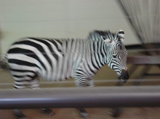 Hyper Zebra, Como Zoo, May 7, 2010.