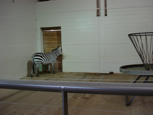 Hyper Zebra hanging by the plywood door. I suspect his/her pals are on the other side. Como Zoo, May 7, 2010.