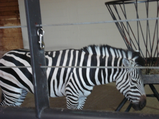 A zebra from the other side, Como Zoo, May 7, 2010.