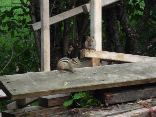 Chipmunks on the wood pile, June 14, 2010