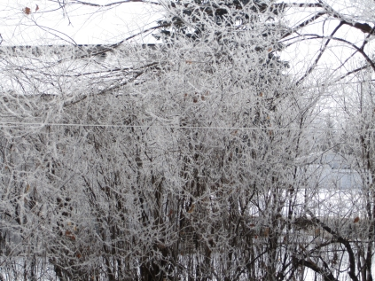 Hoarfrost in Central Minnesota, February 4, 2012